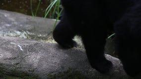 成人福摩萨黑熊爪走在岩石的在动物园 股票视频