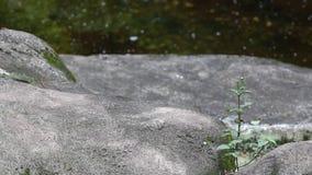 成人福摩萨黑熊爪走在岩石的在动物园 影视素材