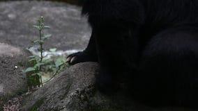 成人福摩萨黑熊爪走在岩石的在动物园 股票录像