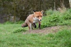 成人红色英国狐狸 免版税图库摄影