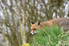 成人红色英国狐狸 库存照片