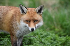 成人红色英国狐狸 免版税库存照片