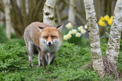 成人红色英国狐狸 免版税库存图片