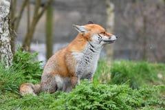 成人红色英国狐狸 图库摄影