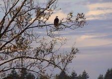 成人美国老鹰在华盛顿州 图库摄影