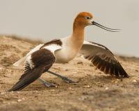 成人美国长嘴上弯的长脚鸟 库存图片