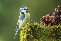 成人蓝冠山雀(Cyanistes caeruleus) 库存照片