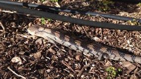 成人蓝舌头蜥蜴 库存照片
