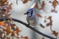 成人蓝色尖嘴鸟Cyanocitta cristata 免版税库存照片
