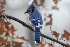 成人蓝色尖嘴鸟Cyanocitta cristata 图库摄影