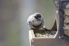 成人蓝色尖嘴鸟Cyanocitta cristata 免版税库存图片