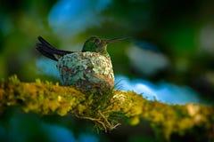 成人蜂鸟坐在巢的鸡蛋,特立尼达和多巴哥 铜rumped蜂鸟, Amazilia tobaci,在树, w 免版税库存图片