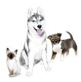 成人西伯利亚爱斯基摩人狗、小狗和小猫 库存照片