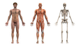 成人解剖学前面男 库存图片