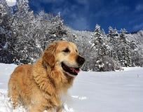 成人金毛猎犬在多雪的早晨 库存照片