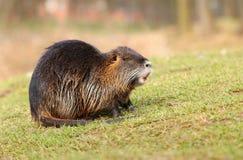成人长毛的河巨水鼠 库存照片