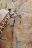 成人长颈鹿 库存图片