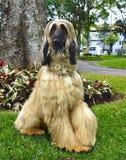 成人阿富汗猎犬 免版税库存图片