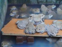 成人青蛙在农场为养殖和出售筑成池塘在泰国 免版税库存图片