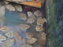 成人青蛙在农场为养殖和出售筑成池塘在泰国 免版税库存照片