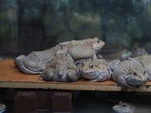 成人青蛙在农场为养殖和出售筑成池塘在泰国 库存图片
