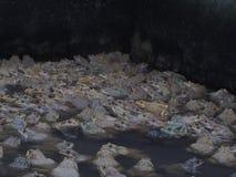 成人青蛙在农场为养殖和出售筑成池塘在泰国 库存照片