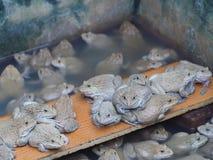 成人青蛙在农场为养殖和出售筑成池塘在泰国 免版税图库摄影