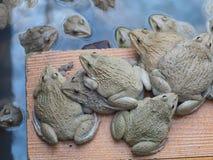 成人青蛙在农场为养殖和出售筑成池塘在泰国 Adul 库存图片