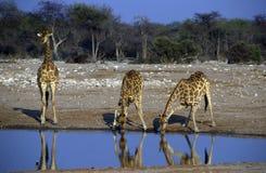 成人非洲长颈鹿 免版税库存图片
