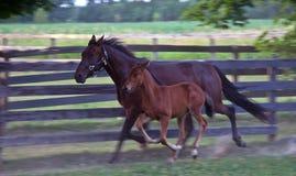 成人马(母马)和驹赛跑 库存照片