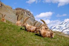 成人高地山羊说谎在与长的垫铁的草的小组在一夏天好日子 大帕拉迪索山国立公园动物区系,意大利 免版税库存照片