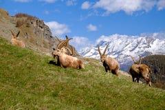 成人高地山羊说谎在与长的垫铁的草的小组在一夏天好日子 大帕拉迪索山国立公园动物区系,意大利 图库摄影
