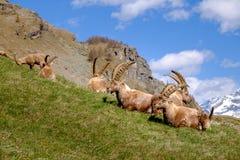 成人高地山羊说谎在与长的垫铁的草的小组在一夏天好日子 大帕拉迪索山国立公园动物区系,意大利 免版税库存图片