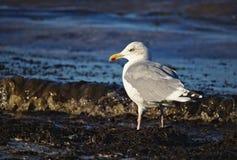 成人鲱鸥由站立在海滩的阳光点燃了在洪水线附近 图库摄影