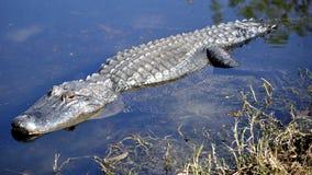 成人鳄鱼美国偷偷靠近的水 免版税库存照片