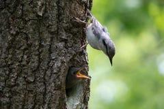 成人鸟五子雀在幼小刚孵出的雏附近坐垂直的树干 在春天的森林燕雀类鸟五子雀类europaea 免版税库存图片