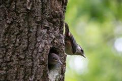 成人鸟五子雀在幼小刚孵出的雏附近坐垂直的树干 在春天的森林燕雀类鸟五子雀类europaea 免版税库存照片