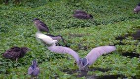成人鸟Nycticorax和白色白鹭属Garzetta的慢动作在湖 股票录像