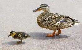 成人鸭子和一只小鸭子去路 免版税库存照片
