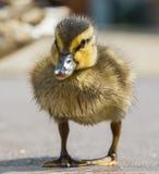 成人鸭子和一只小鸭子去路 库存图片