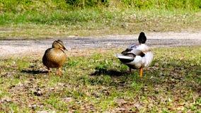 成人鸭子,竞争的野鸭与女性,野生生物竞争联接,求婚 股票视频
