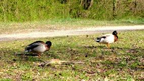 成人鸭子,竞争的野鸭与女性,野生生物竞争联接,求婚 股票录像