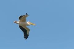 成人,白色,伟大的白色鹈鹕在飞行中反对清楚的蓝天 库存照片