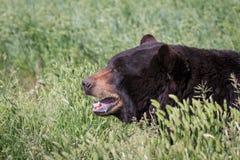 成人黑熊 免版税图库摄影