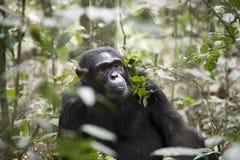 成人黑猩猩,基巴莱国家公园,乌干达画象  免版税库存照片