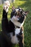 成人黑白使用与有开放的嘴的玩具的无尾礼服家养的短发猫 免版税库存照片
