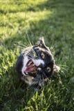 成人黑白使用与有开放的嘴的玩具的无尾礼服家养的短发猫 免版税库存图片
