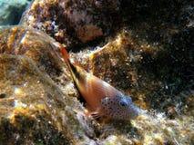 成人blackside鱼hawkfish 免版税库存照片