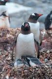成人Gentoo和小鸡南极洲 库存照片