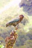 成人Kea鹦鹉栖息在一个死的分支的, Milford Sound 库存照片
